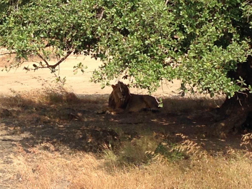 Die letzten Löwen Asiens im Gir National Park