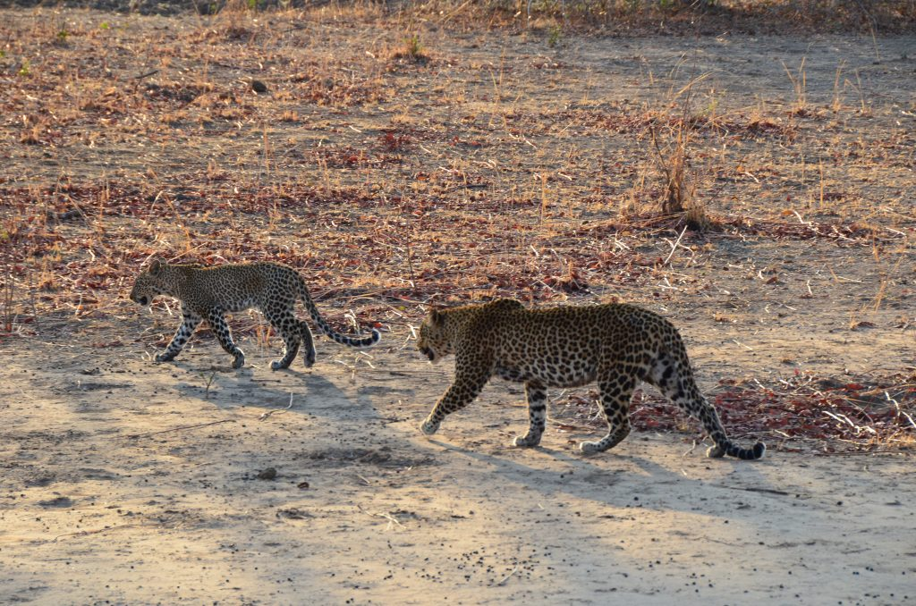 Read more about the article South Luangwa National Park
